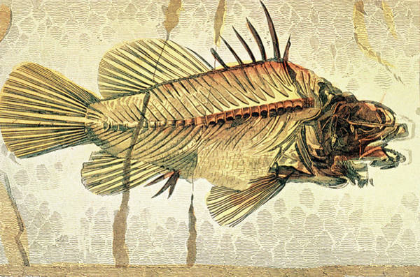 Wall Art - Photograph - Historical Illustration Of Fossil Perch Fish by George Bernard/science Photo Library