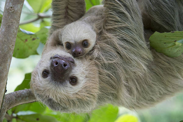 Wildlife Sanctuary Photograph - Hoffmanns Two-toed Sloth And Old Baby by Suzi Eszterhas