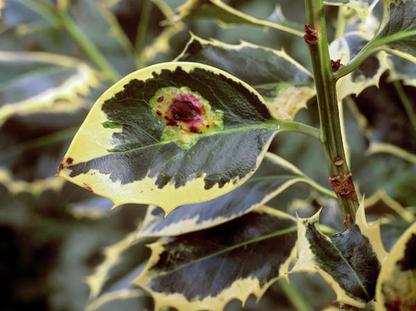 Miners Photograph - Holly Leaf Miner by Geoff Kidd/science Photo Library