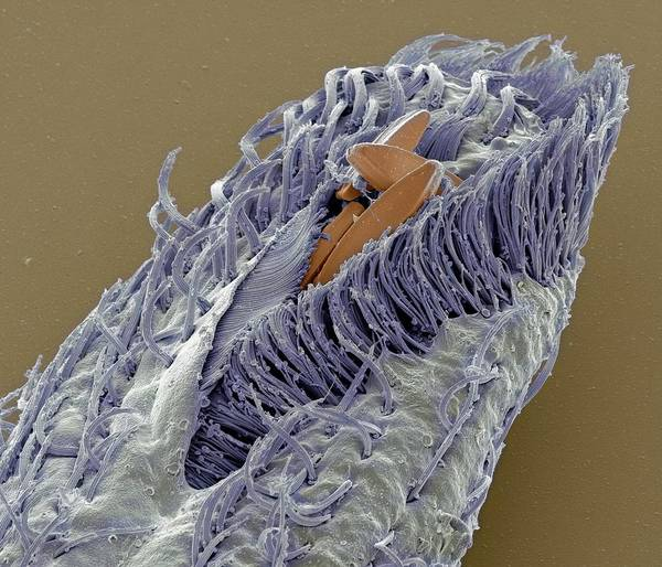 Buccal Wall Art - Photograph - Holosticha Ciliate Protozoan by Steve Gschmeissner