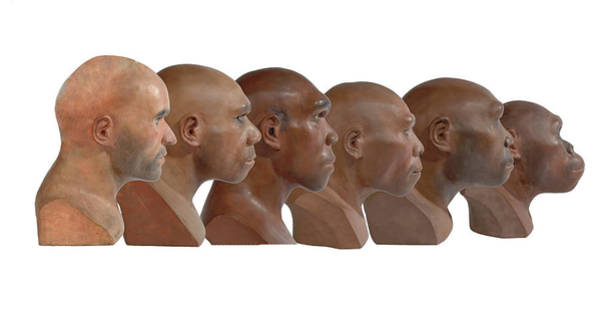 Homo Sapiens Photograph - Hominid Reconstruction Sequence by Natural History Museum, London/science Photo Library