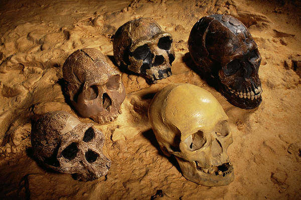Wall Art - Photograph - Hominid Skulls by Pascal Goetgheluck/science Photo Library