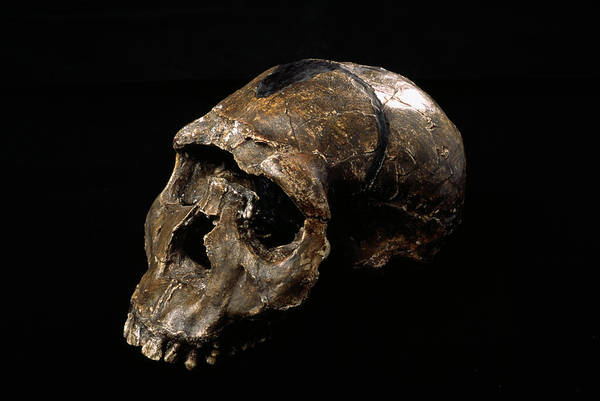 Wall Art - Photograph - Homo Ergaster Skull by Pascal Goetgheluck/science Photo Library