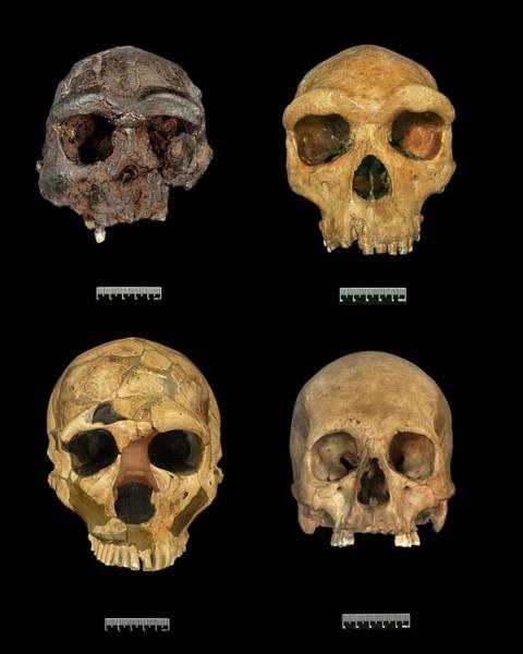 Homo Sapiens Photograph - Homo Skull Specimens by Natural History Museum, London/science Photo Library