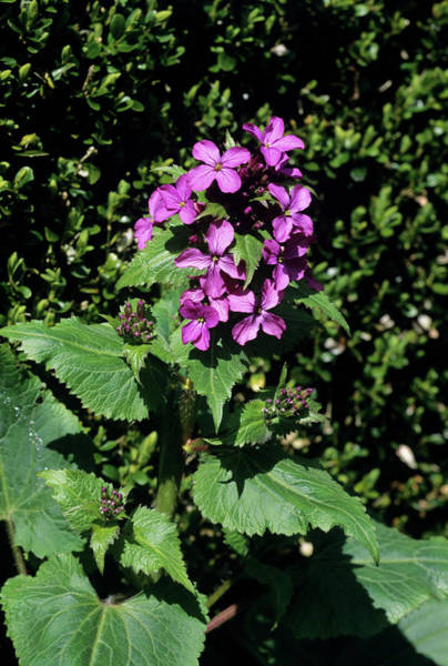 Wall Art - Photograph - Honesty Flowers (lunaria Annua) by Tony Wood/science Photo Library