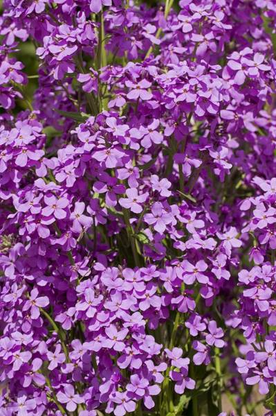 Wall Art - Photograph - Honesty (lunaria Annua) by Science Photo Library