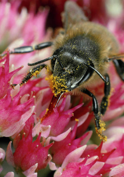 Bee On Flower Wall Art - Photograph - Honey Bee On An Ice Plant Flower by Dr Jeremy Burgess/science Photo Library