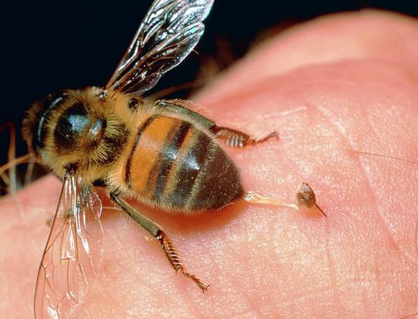 Bee Sting Photograph - Honeybee by Dr Jeremy Burgess/science Photo Library