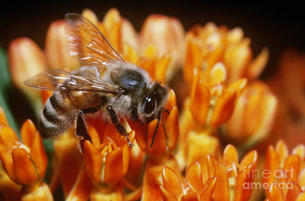 Pterygota Wall Art - Photograph - Honeybee by Larry West