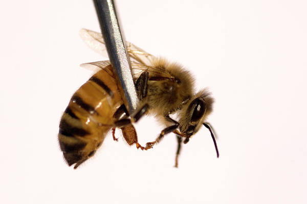 Bee Sting Photograph - Honeybee by Louise Murray/science Photo Library
