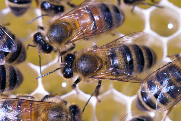Honeybees Wall Art - Photograph - Honeybees On Honeycomb by Simon Fraser/science Photo Library