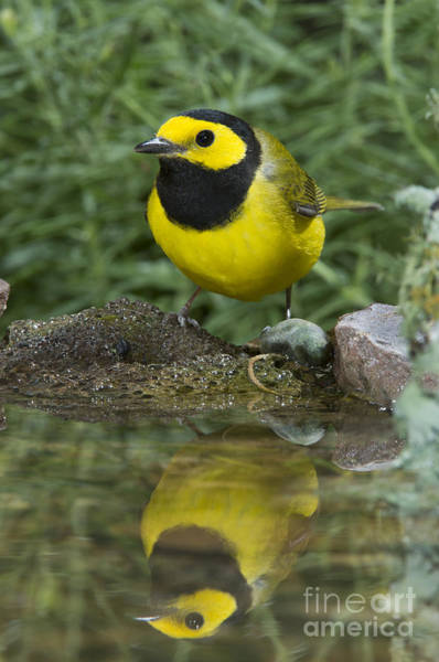Parulidae Photograph - Hooded Warbler by Anthony Mercieca