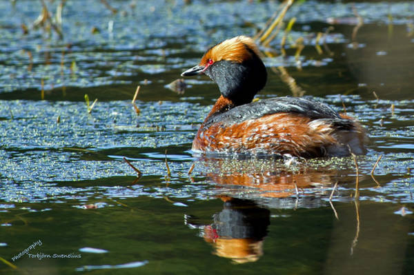 Photograph - Horned Grebe  by Torbjorn Swenelius