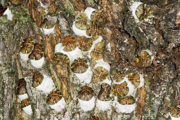 Wall Art - Photograph - Horse-chestnut Scale by Geoff Kidd/science Photo Library