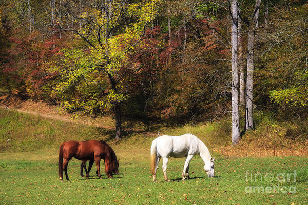 Photograph - Horses In A Pasture by Jill Lang