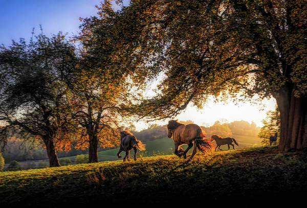 Baden Wuerttemberg Photograph - Horses Running At Sunset, Baden by Animal Images