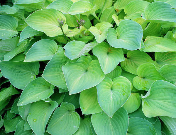 Wall Art - Photograph - Hosta 'birchwood Parky's Gold' by Geoff Kidd/science Photo Library