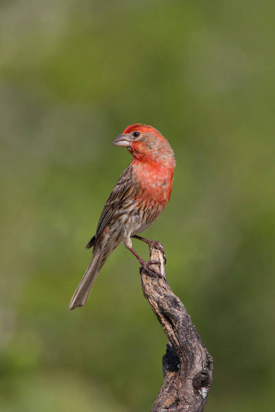 House Finch Wall Art - Photograph - House Finch, Carpodacus Mexicanus, Male by Larry Ditto