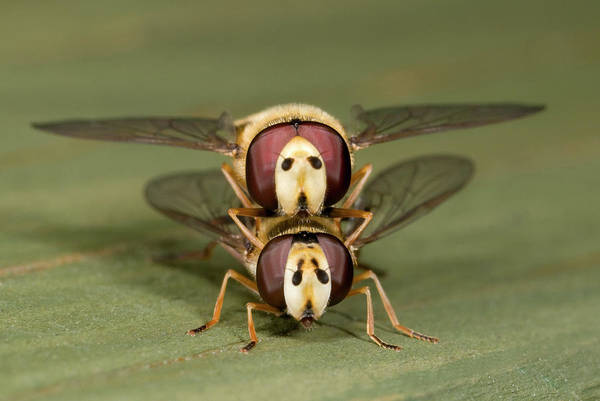 Corolla Photograph - Hover-flies by Nigel Downer