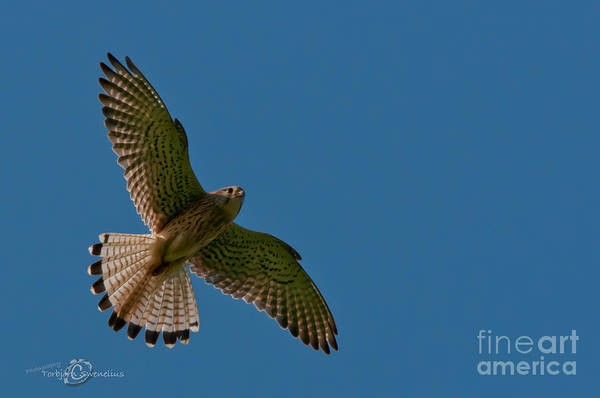 Photograph - Hovering by Torbjorn Swenelius