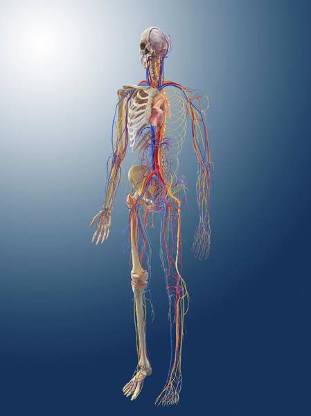 Vertebral Artery Photograph - Human Anatomy by Springer Medizin/science Photo Library