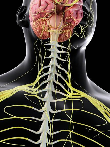 Spinal Cord Photograph - Human Brain And Spinal Cord by Sciepro