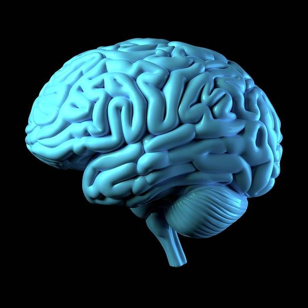 Neurobiology Photograph - Human Brain by Ventris / Science Photo Library
