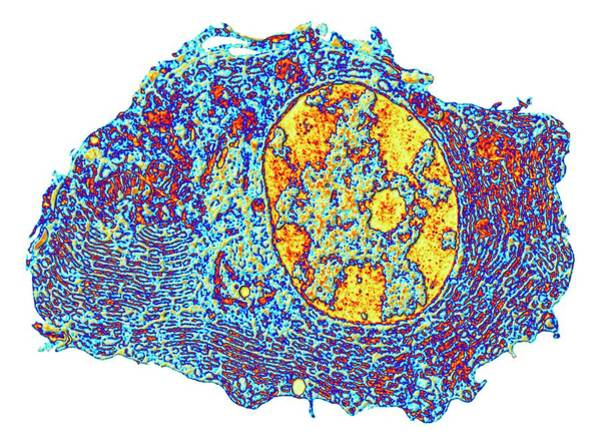 Biological Photograph - Human Cell by Alfred Pasieka