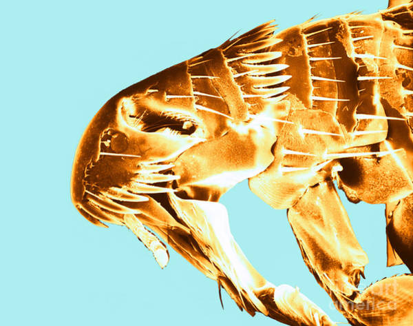 Photograph - Human Flea, Sem by David M Phillips
