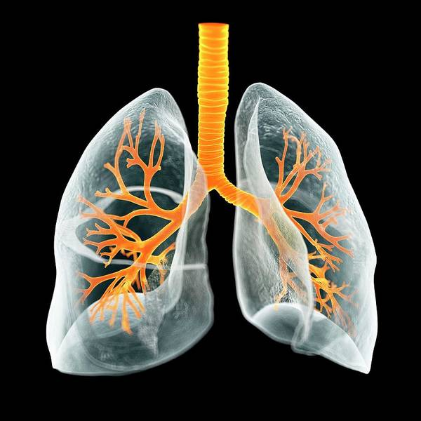 Bronchus Photograph - Human Lungs by Sciepro