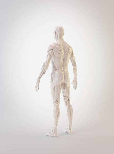 Wall Art - Photograph - Human Muscles by Andrzej Wojcicki/science Photo Library