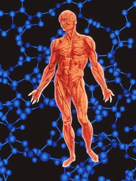De Humani Corporis Fabrica Photograph - Human Musculature by Alfred Pasieka/science Photo Library