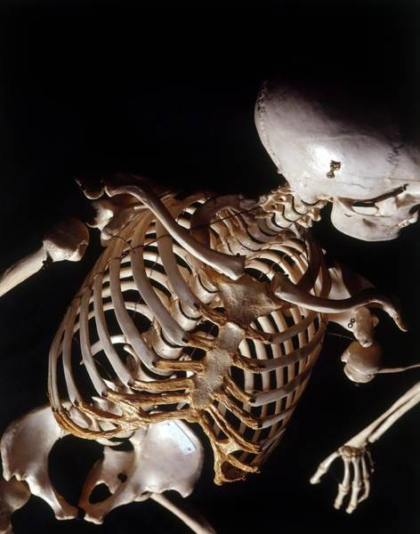 Bone Structure Wall Art - Photograph - Human Skeleton by Dorling Kindersley/uig