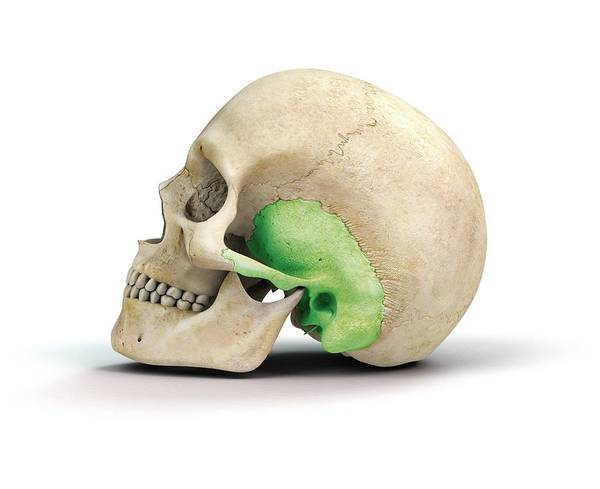 Temporal Bone Wall Art - Photograph - Human Skull And Temporal Bone by Mikkel Juul Jensen