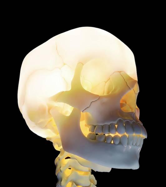 Bone Structure Wall Art - Photograph - Human Skull by Andrzej Wojcicki/science Photo Library