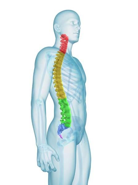 Human Spine Art Print