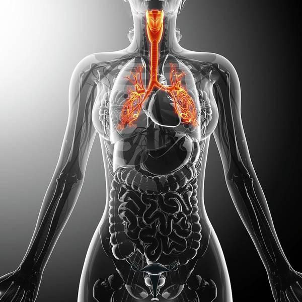 Bronchus Photograph - Human Throat by Pixologicstudio