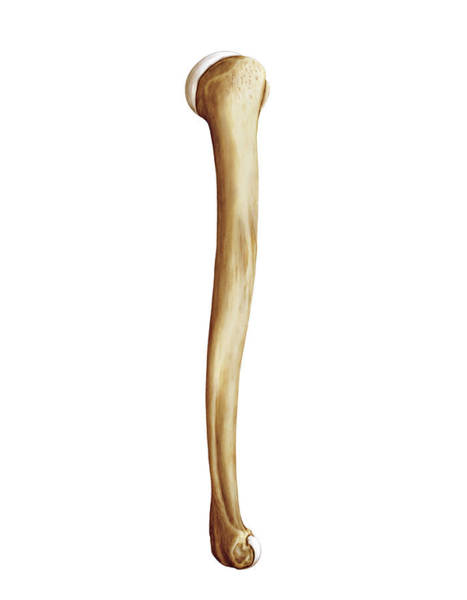 Biological Photograph - Humerus by Asklepios Medical Atlas