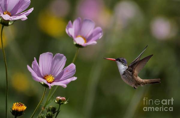 Photograph - Hummingbird In The Cosmos by John  Kolenberg