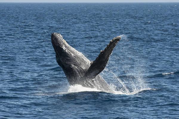 Photograph - Humpback Whale Breaching Maui by Flip Nicklin