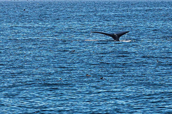 Art Print featuring the photograph Humpback Whale Lobtailing by Perla Copernik