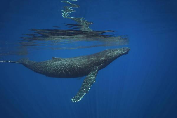 Wall Art - Photograph - Humpback Whale  Megaptera Novaeangliae by Dave Fleetham
