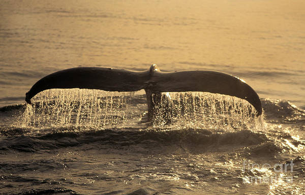 Photograph - Humpback Whale by Ron Sanford