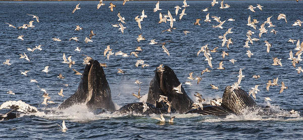 Photograph - Humpback Whales Feeding With Gulls by Flip Nicklin