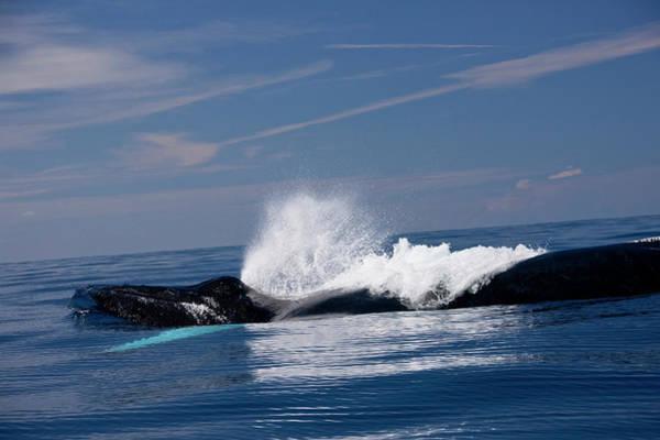 Puerto Plata Photograph - Humpback Whales Of The Silver Bank by Maya de Almeida Araujo