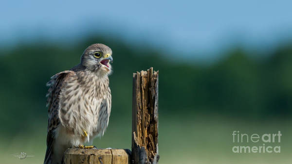 Photograph - Hungry by Torbjorn Swenelius