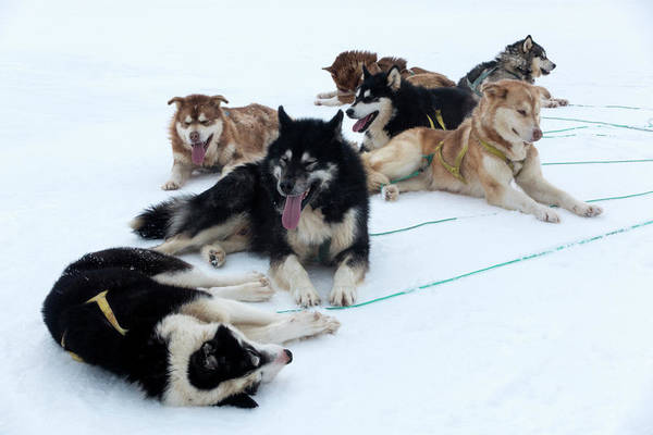 Canis Lupus Photograph - Husky Sled Dogs by Louise Murray