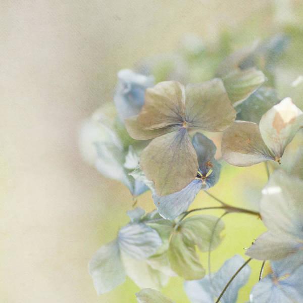 New Leaf Photograph - Hydrangea by Jill Ferry
