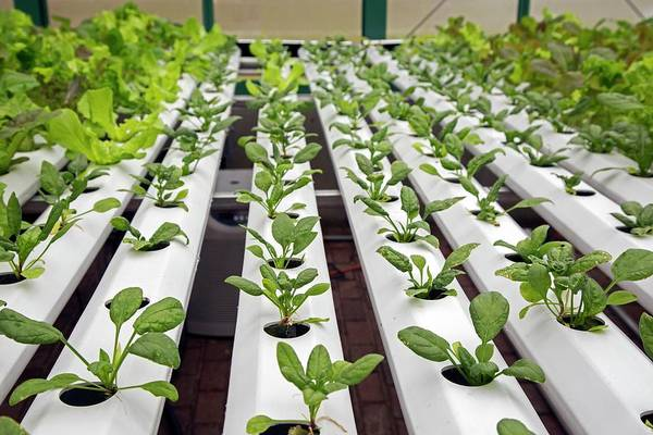 Security Service Photograph - Hydroponic Spinach At A Hospital Farm by Jim West