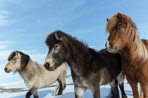 Wall Art - Photograph - Iceland Icelandic Horses Credit by Jaynes Gallery